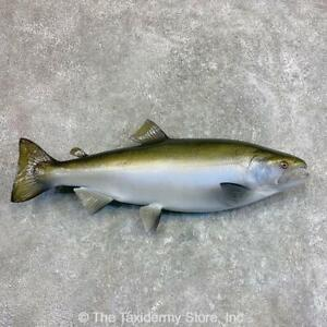 """#22043 P+   25"""" Reproduction Coho Salmon Taxidermy Fish Mount For Sale"""
