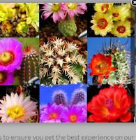 Crassula umbella Kamieskroon 20 SEEDS 2020 harvest rare SA caudex succulent