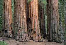 Sequoiadendron giganteum / Wellingtonia or Giant Redwood Tree grown peat free 3L
