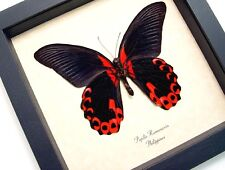 Real Framed Papilio Rumanzovia Verso Scarlet Mormon Butterfly 138