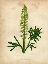 Antique botanical print :Wild Mignonette / Reseda luteola / Anne Pratt 1857