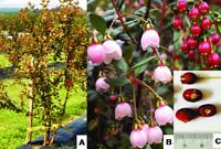 RARE Chilean Guava / Murtilla - Ugni Molinae Fruit - 20 seeds