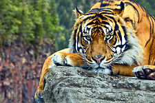 Framed Print - Tiger Laying on the Rocks (Picture Poster Animal Cat Bengal Art)