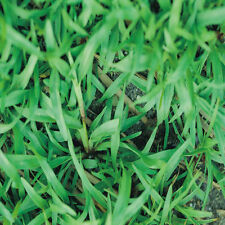 "Carpetgrass Seeds ""Premium Grade Coated"" 1 Lb."