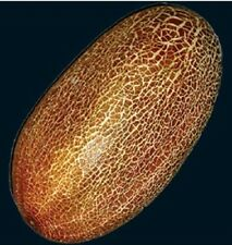 "Cucumber ""SIKKIM""  20 seeds Very Rare Delicious Organic"