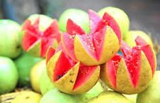 HAWAIIAN GUAVA, 50 + FRESH SEEDS, EASY TO GROW COMPACT FRUIT TREE