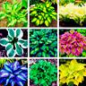 Hosta Bonsai Perennials Plants 200 PCS Seeds Lily Flowers White Lace Home Garden