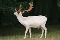 Framed Print - Majestic White Stag (Picture Poster Animal Bull Cow Deer Art)