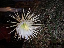 12cm Topf K/önigin der Nacht Selenicereus grandiflorus