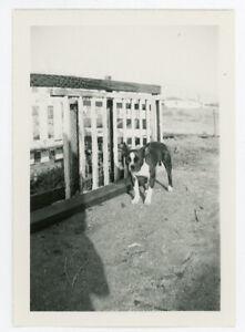 Vintage Photo Boston Terrier Puppy Dog Farm Animal Ranch Pet Photographer Shadow