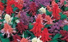50 Salvia Seeds Sizzler Mix Flower Seeds