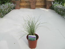 Carex Amazon Mist Frosted Curls~Evergreen Grasses Hardy Grass Plant in 9cm Pot