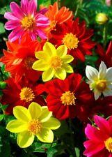 """Garden dahlia """"Mignon"""" - 120 seeds"""