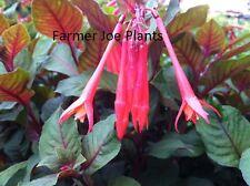 """FUCHSIA - GARTENMEISTER -  2 PLANTS - 4"""" round pot"""