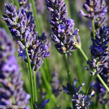 English Lavender Herb Heirloom Seeds - Non-GMO - Untreated - Open Pollinated!