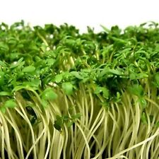 Garden Cress Ajur Lepidium Sativum Seeds Organically Grown Herb NON GMO