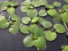 Limnobium Spongia-Acuario O Estanque planta flotante