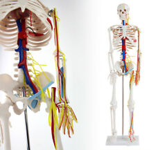 School Education Science Medical Skeleton Model + Nerves Blood Vessels 85Cm Gift