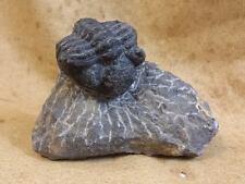Fossil (F36) Phacops Trilobite in Matrix
