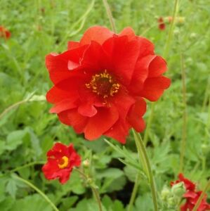 Geum 'Mrs Bradshaw' - 150 Seeds - Avens Hardy Perennial
