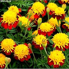 "Marigold ""Tiger Eyes"" (Tagetes patula nana) x 50 seeds. Ask for combined postage"