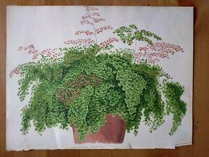 19th Century Botanical Print