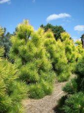 Thunberg Pine (Pinus Thunbergii) 50 seeds