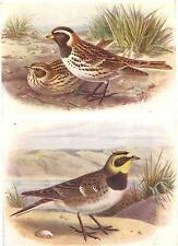 BRITISH BIRDS: Lapland Bunting; Shore-Lark. THORBURN; vintage print 1925