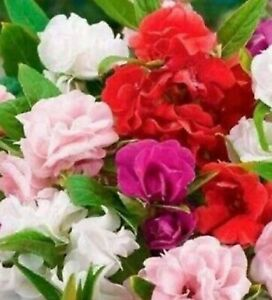Impatiens Seeds Camelia Flowered Mixed 80+ SEEDS  --BUY 4 ITEMS FREE SHIPPING