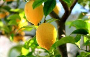 Lemon Tree Citrus Plant - Easy Growing and Low Maintenance Baby Fruit Plug Plant