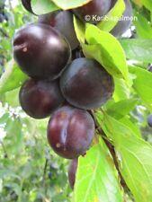 Reineclaude van 'Schou' - rote Pflaume - Pflanze 160-180cm Zwetschgenbaum