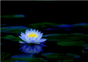 Bonsai Lotus/water lily flower Bowl-Pond /5 Fresh seeds/Perfume Blue Lotus