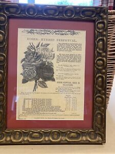 Antique Picture 1875 Daniel Brothers Advert For Hybrid Rose In Old Frame