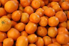 Citrus reticulata Murcott Honey Tangerine Tree Seeds!