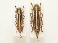 Pygoptosia (Phytoecia) eugeniae, endemic from Lorestan,IRI, Cerambycidae, rare!