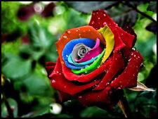 """50 Regenbogen Rose Rosen Rainbow Samen  Seeds "".,.."