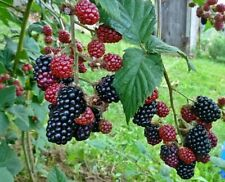 Thornless Blackberry - Rubus rusticanus - 50+ seeds - Heirloom!