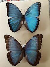 Entomologie insectes papillons