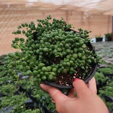 "String of Pearls Senecio Rowleyanus Succulent Plant Shown in 6"" Pot"