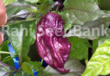 Yaki Blue Chilli - A Deadly Cross Chilli Between Bhut Jolokia X Fillius Blue