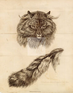 ANTIQUE Rural Sports Engraving on Folded Paper - A Cat and Tail #F183