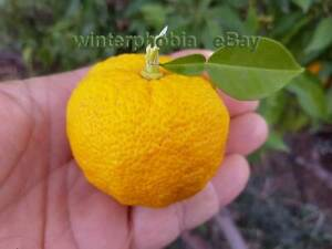10 super fresh seeds hardy CITRUS JUNOS, YUZU -15°C(5°F) collected Jan 7th, 2021