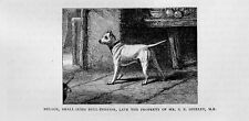Stampa antica CANE BULL TERRIER di piccola taglia 1879 Old print dog