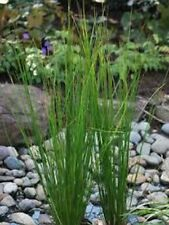 Common Rush 24 plants natural filter stop algae koi pond garden J&J Aquafarms