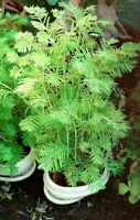 Sequoia  amanecer ( Metasequoia glyptostroboides ) 100 semillas  - seeds bonsai