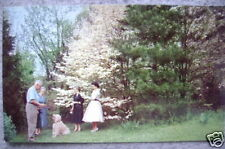 1950's Dogwoods in Virginia, Front  Royal postcard
