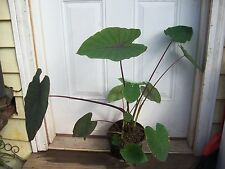 Colocasia Blackmagic,Taro,Water,Pon d,Plant,100% Organic Grown,2,Year,Old,Plants