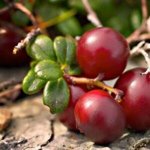 Cranberry Bush Seeds (Vaccinium Macrocarpon) 25+Seeds