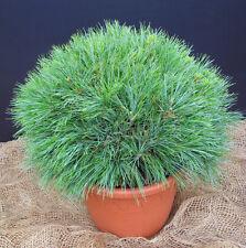Zwergseidenkiefer Pinus strobus Minima 15-20cm Nadelgehölz Zwergsorte