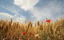 Public Domain Stock Photo Images 25000+ 2 Dvd Wheat Fields Wallpapers 1920X120
